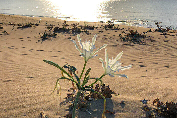 The White Beach Lily of North Cyprus